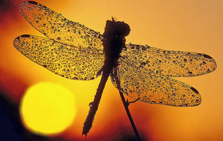 dragonfly times