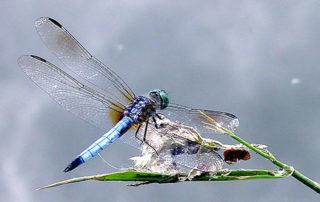 dragonfly perception