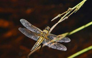 dragonfly symbolism