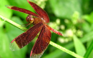 red dragonfly symbolism