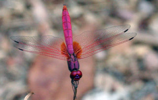 hot pink dragonfly