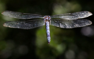 rare color dragonfly