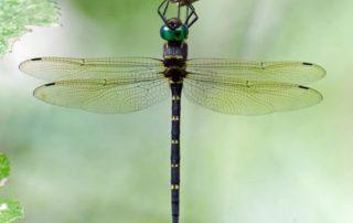 cruiser green dragonfly