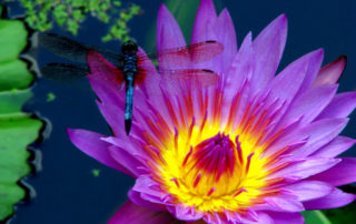 sacred dragonfly